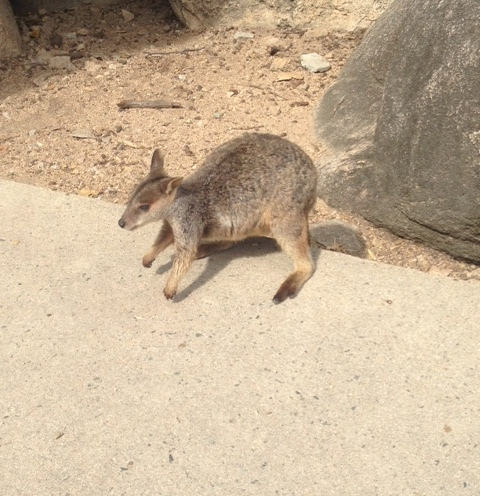magneticislandwallaby